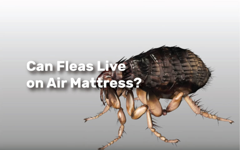 Can Fleas Live on Air Mattress realestateke