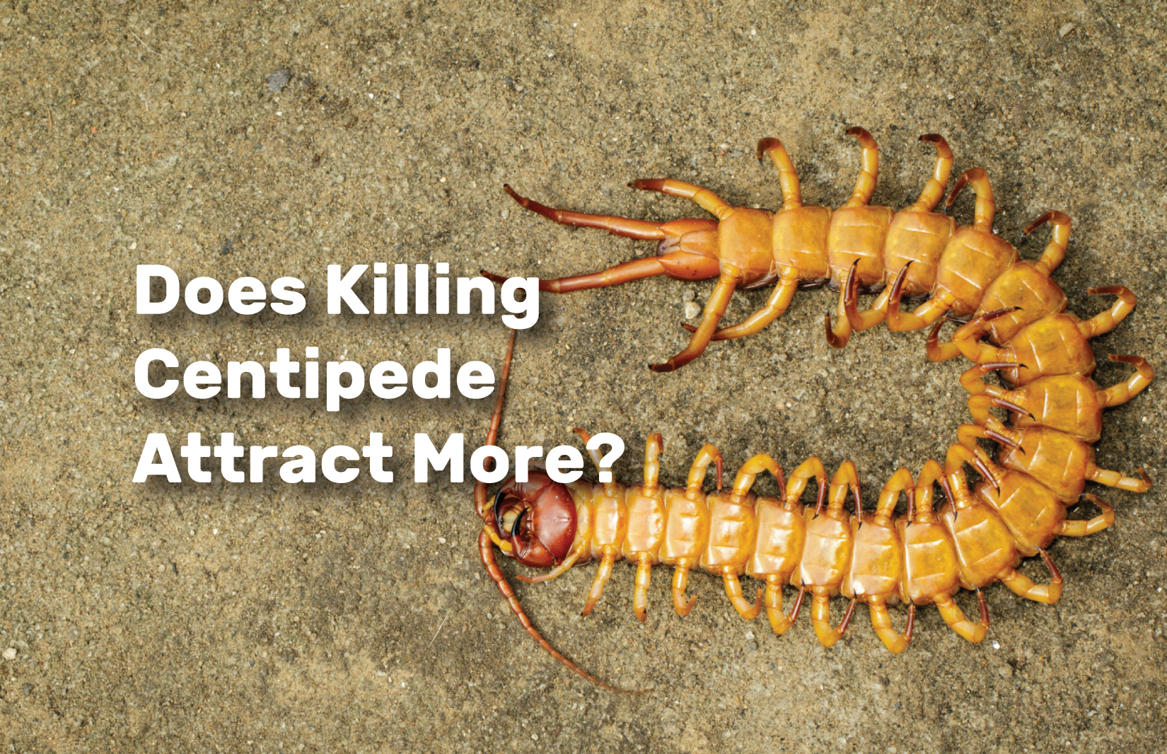 Does-Killing-Centipede-Attract-More realestateke