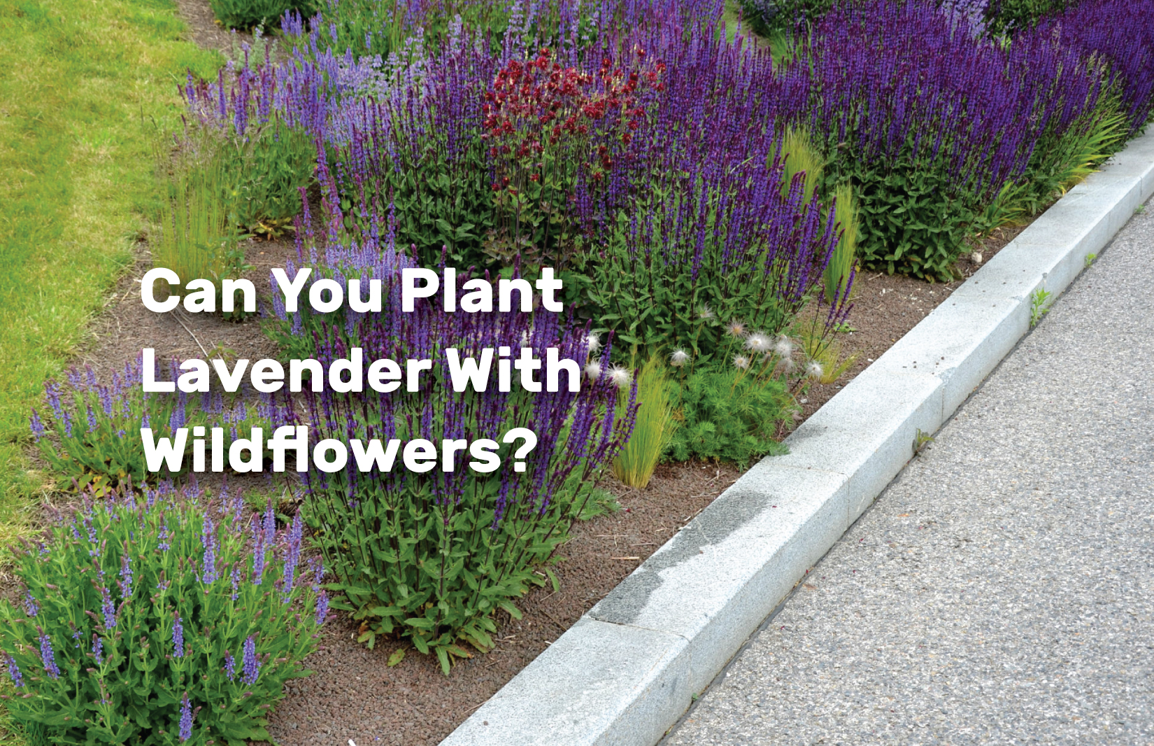 Can-You-Plant-Lavender-With-Wildflowers realestateke